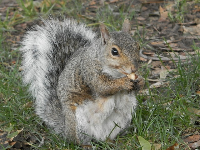 squirrel, park, peanut, animal, gray, wildlife, eating