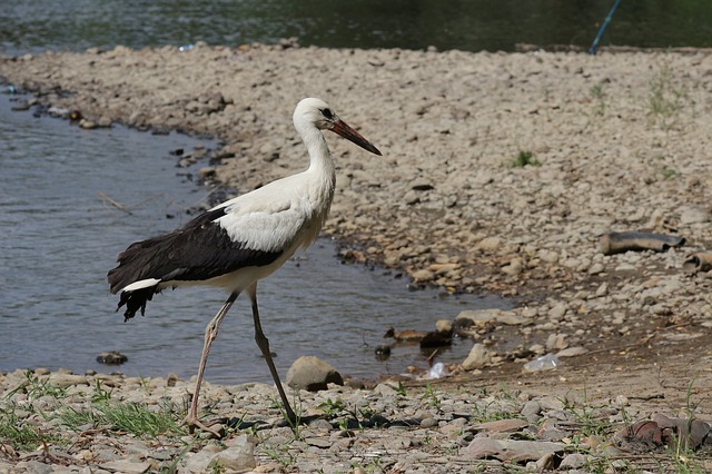 stork, water, river, nature, bird