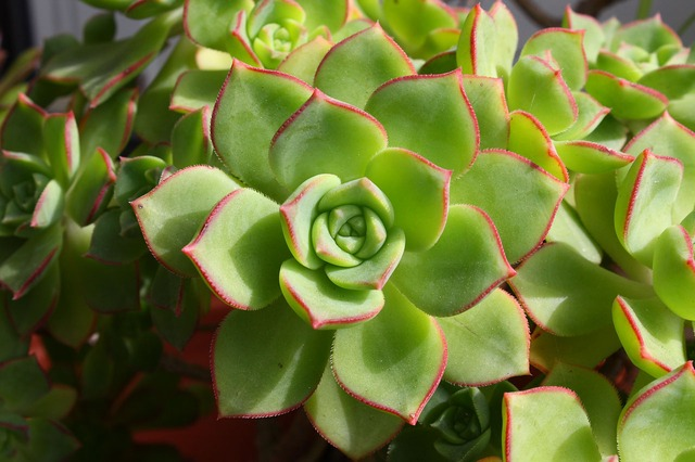 succulent, plant, leaves, nature