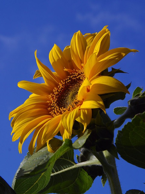 sun flower, flower, nature, flora, beautiful, color