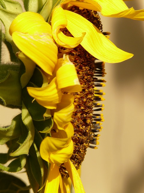 sun flower, helianthus annuus, flower, nature, plant