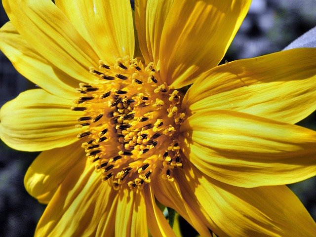 sun flower, sunflower, abruzzo, flowers, summer, yellow