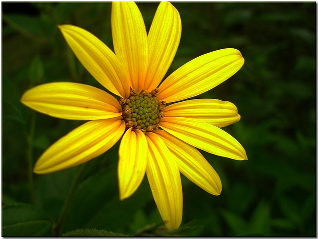 sun hat, yellow, flower, plant, shining coneflower