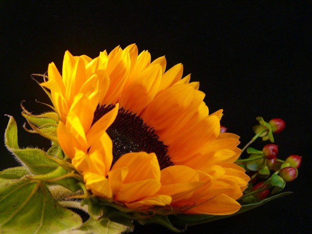 sunflower, season, summer, black, flower, flora