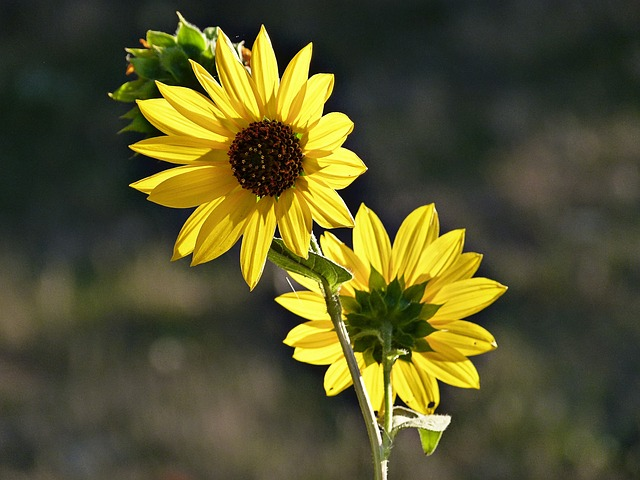 sunflowers, yellow, autumn, fall, desert, plants