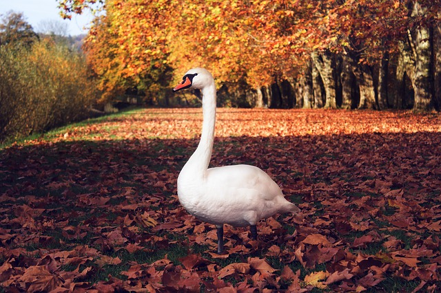 swan, autumn, case, bird, water, leaves, orange