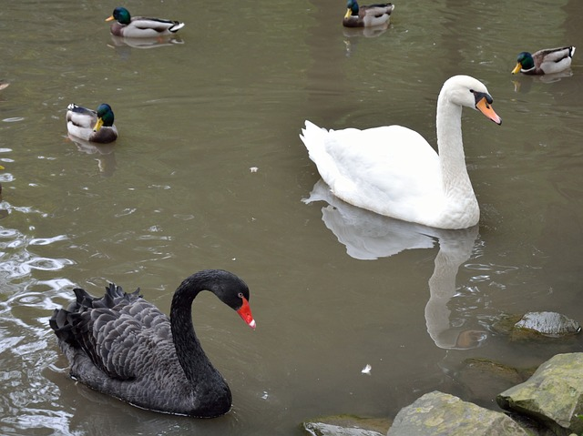 swan, duck, water bird, nature, black, animal