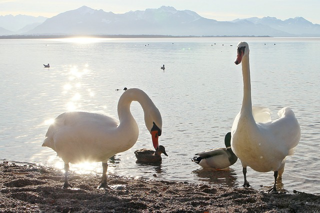 swans, nature, see, waters, swan, back light, sparkle