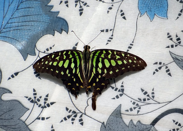 tailed jay, butterfly, insect, butterflies, macro