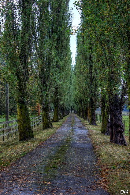 tall, trees, road, entryway, farm