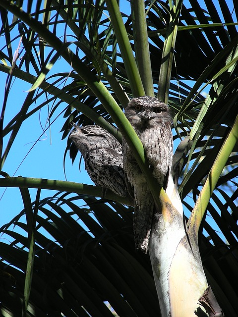 tawny frogmouth, frogmouth birds, birds, camouflage