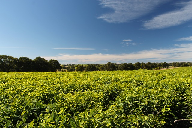 tea, plantation, south africa
