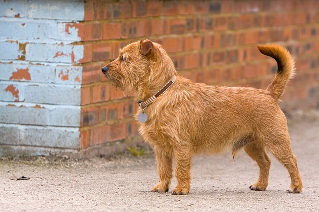 terrier, mixed breed, mongrel, cute, dog, canine, pet