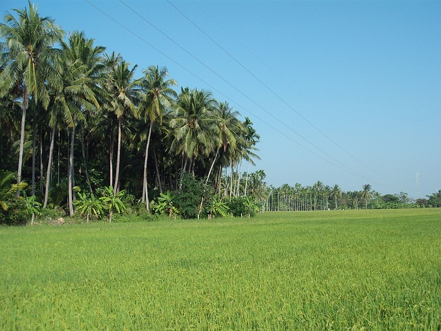 thailand, paddy, landscape, palm trees