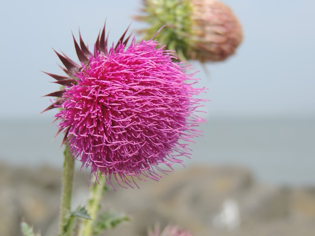 thistle, pink, flower, purple, meadow, plant, nature