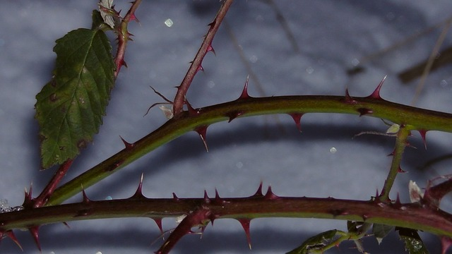 thorns, sting, spur, winter, nature, blackberry