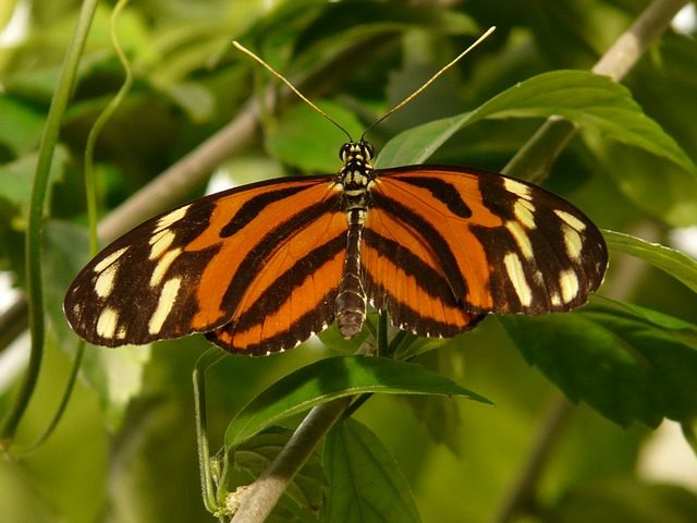 tiger passionsfalter, butterfly, heliconius ismenius