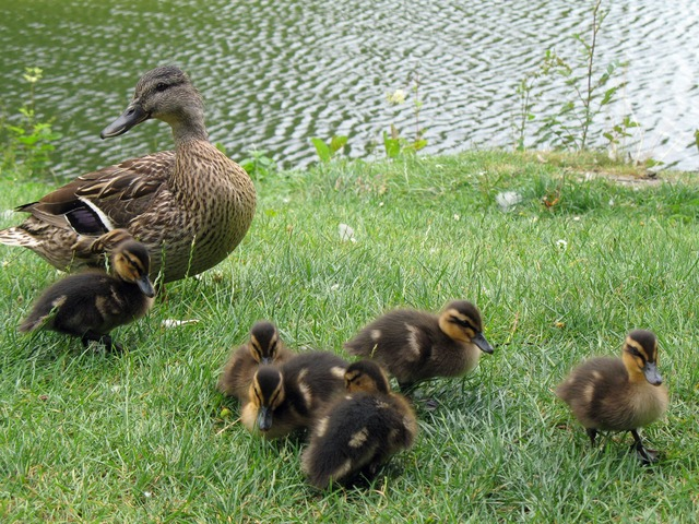 tiny, duckling, ducklings, duck, grass, lawn, water
