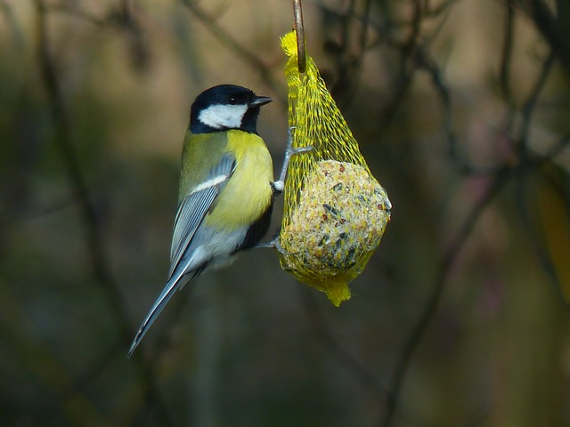 tit, parus major, paridae, passeri, songbird, bird