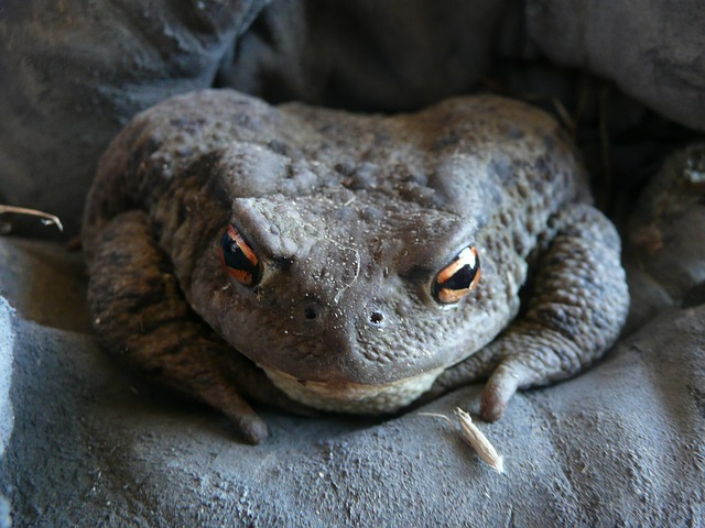 toad, animal, amphibian, frog, nature, wildlife