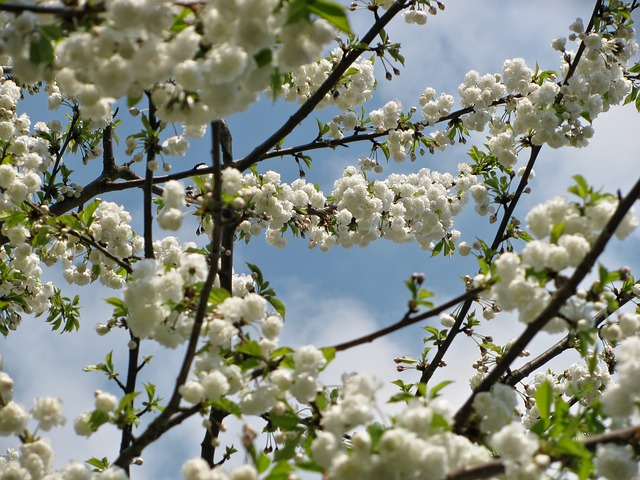 tree, blossom, blossoms, spring, nature, white