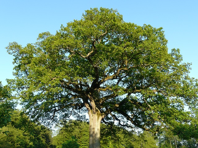 tree, oak, large, huge, powerful, quercus, nature