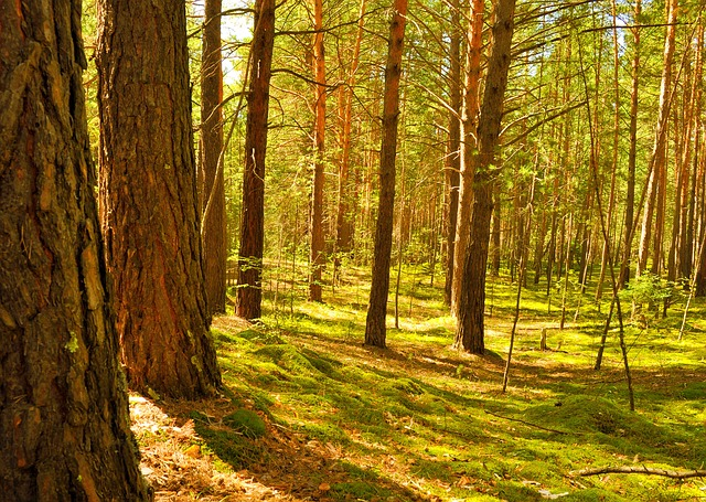 trees, forest, nature, pine, moss