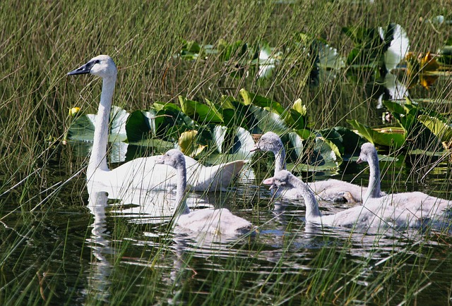 trumpeter swans, swan, brood, chicks, young, birds