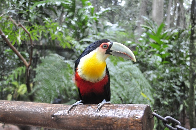 tucan, brazil, bird, nature