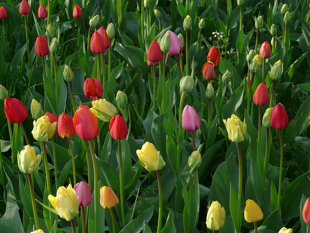 tulip field, tulips, meadow, green, beautiful, colorful