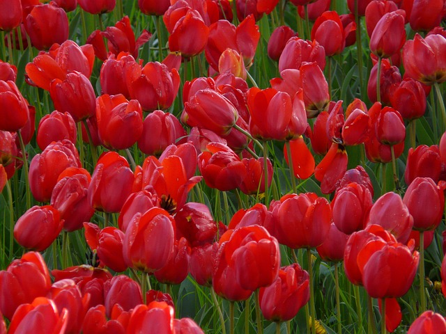 tulip field, tulips, red, closed, to, tulpenbluete