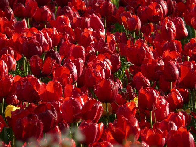 tulip field, tulips, red, strong, farbenpracht