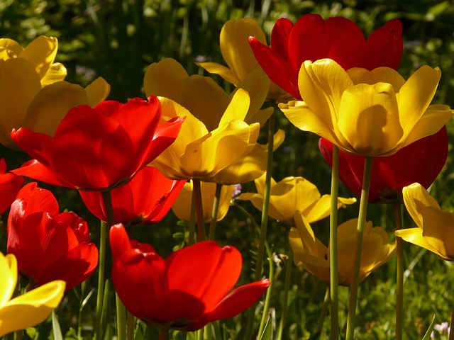 tulips, red, yellow, back light, beautiful
