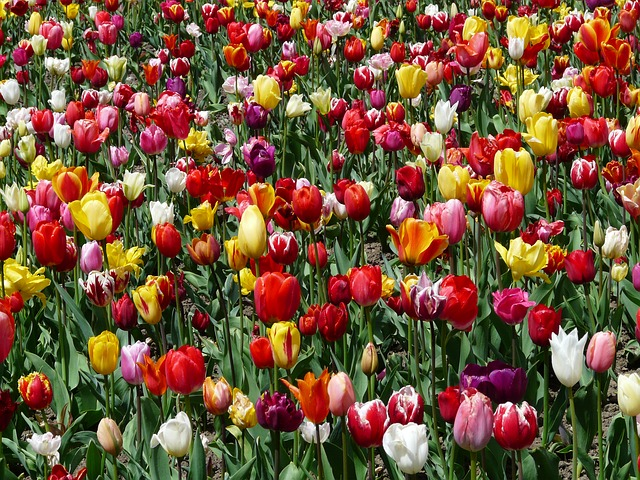tulpenbluete, tulips, flowers, tulip field, colorful
