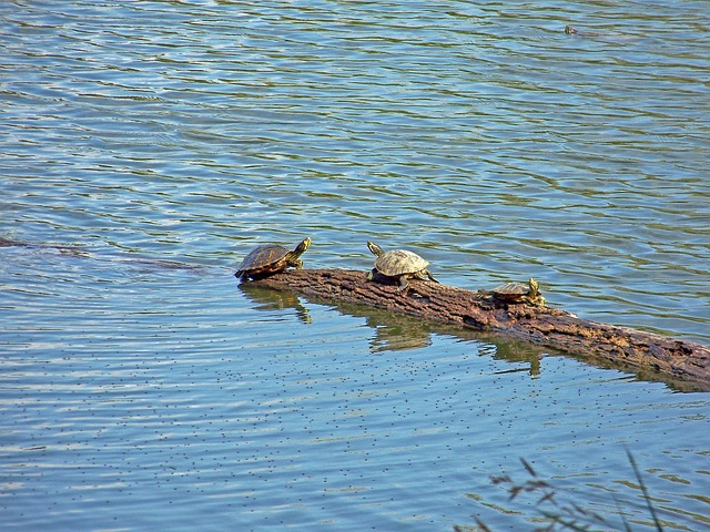 turtles, turtle, animal, wildlife, reptile, water, pond