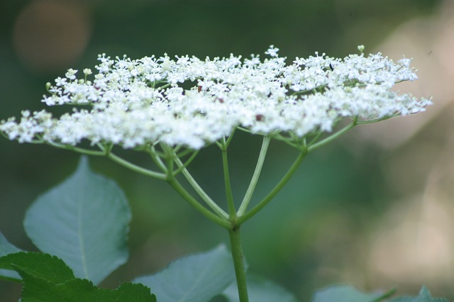 umbelliferae, forest, nature, flower, white, green