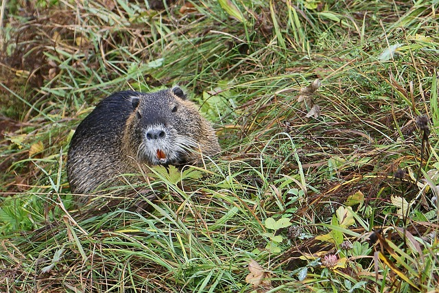 upper bavaria, nature, mammal, water, animal, rodent