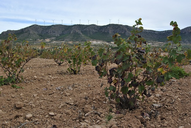 vineyard, autumn, jumilla, winter, leaves, vine, yellow