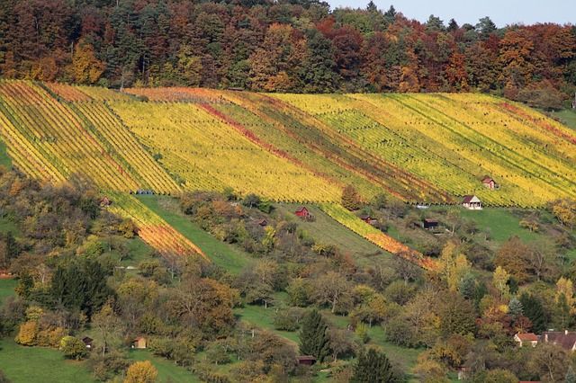 vineyard, autumn, nature, landscape, bright, plant