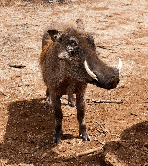 warthog, south africa, savannah