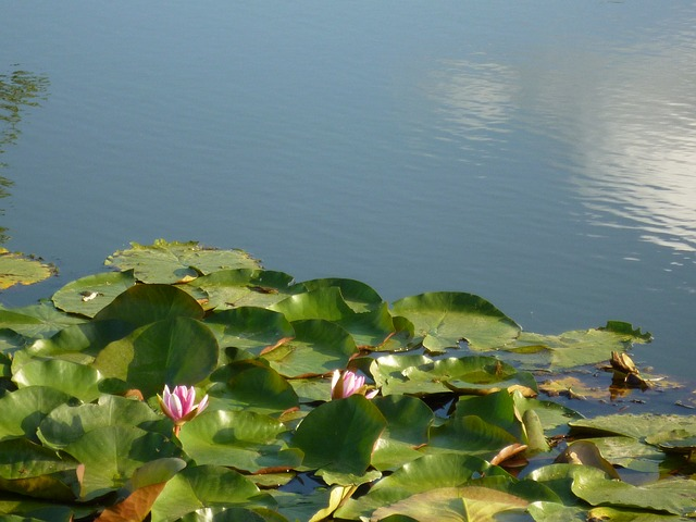 water lilies, lotus, summer