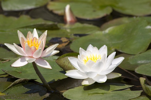 water lilies, nymphaea, lake rose, aquatic plants