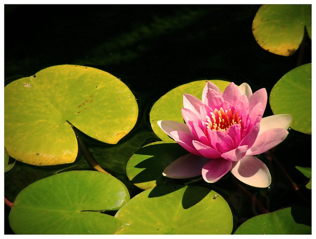 water, lily, water lily, water lilies