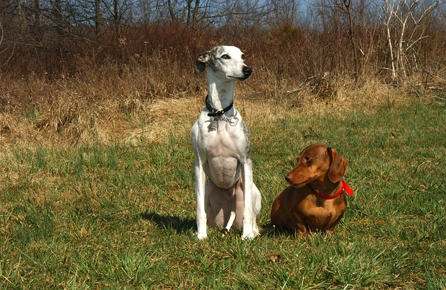 whippet, dachshund, dogs, canines, animals, pets
