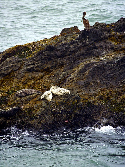 white, seals, animals, sea, pacific, nature, pelican
