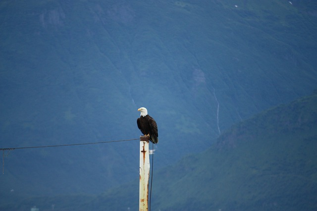 white tailed eagle, bald eagle, bald eagles, valdez