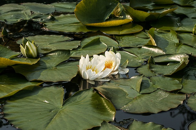white water lily, nymphaea alba, water lilies, flower