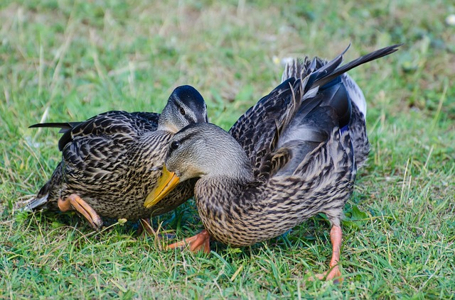 wild, animals, duck, birds, detail, close- up, grass