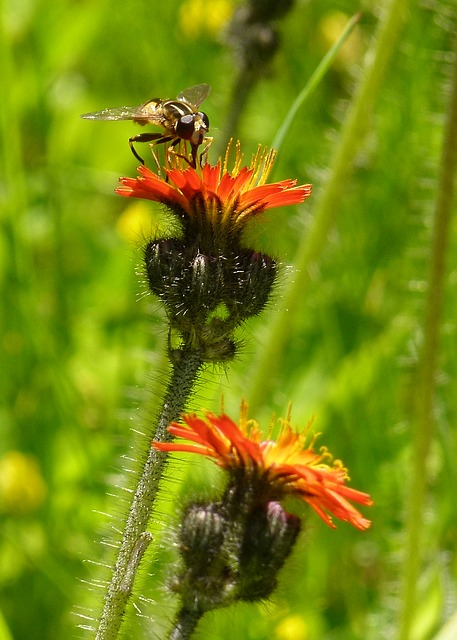 wild flower, plant, meadow, orange, yellow, insect