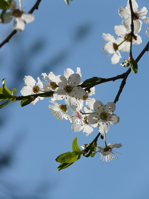 wild plum, flower, tree, road, american wildpflaume